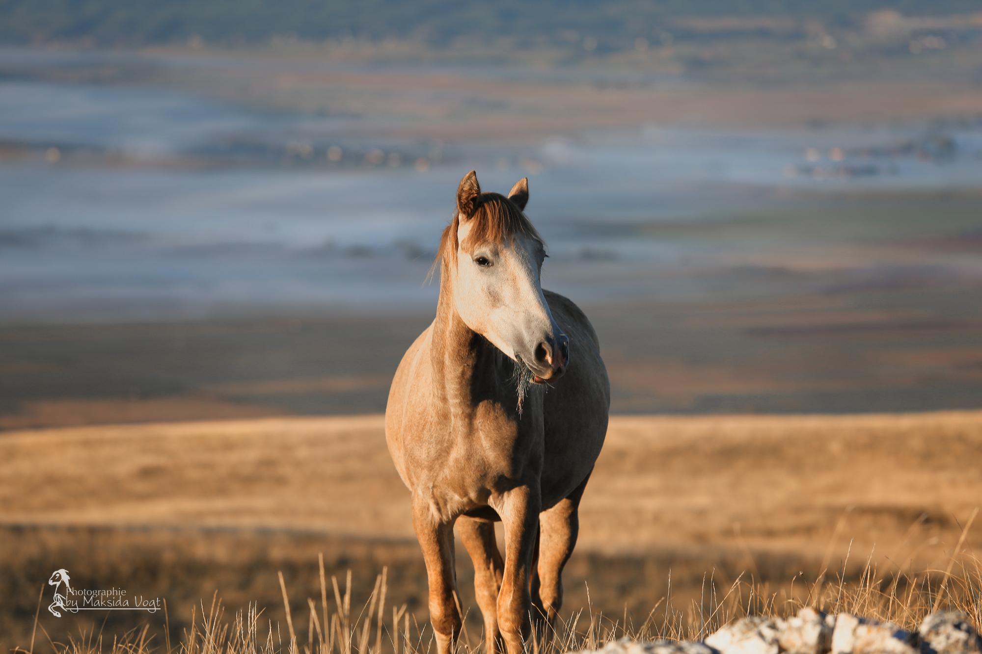 Friedfertigkeit der Pferde wird unterstrichen durch die schönsten Farben des Morgenhimmels. © Maksida Vogt