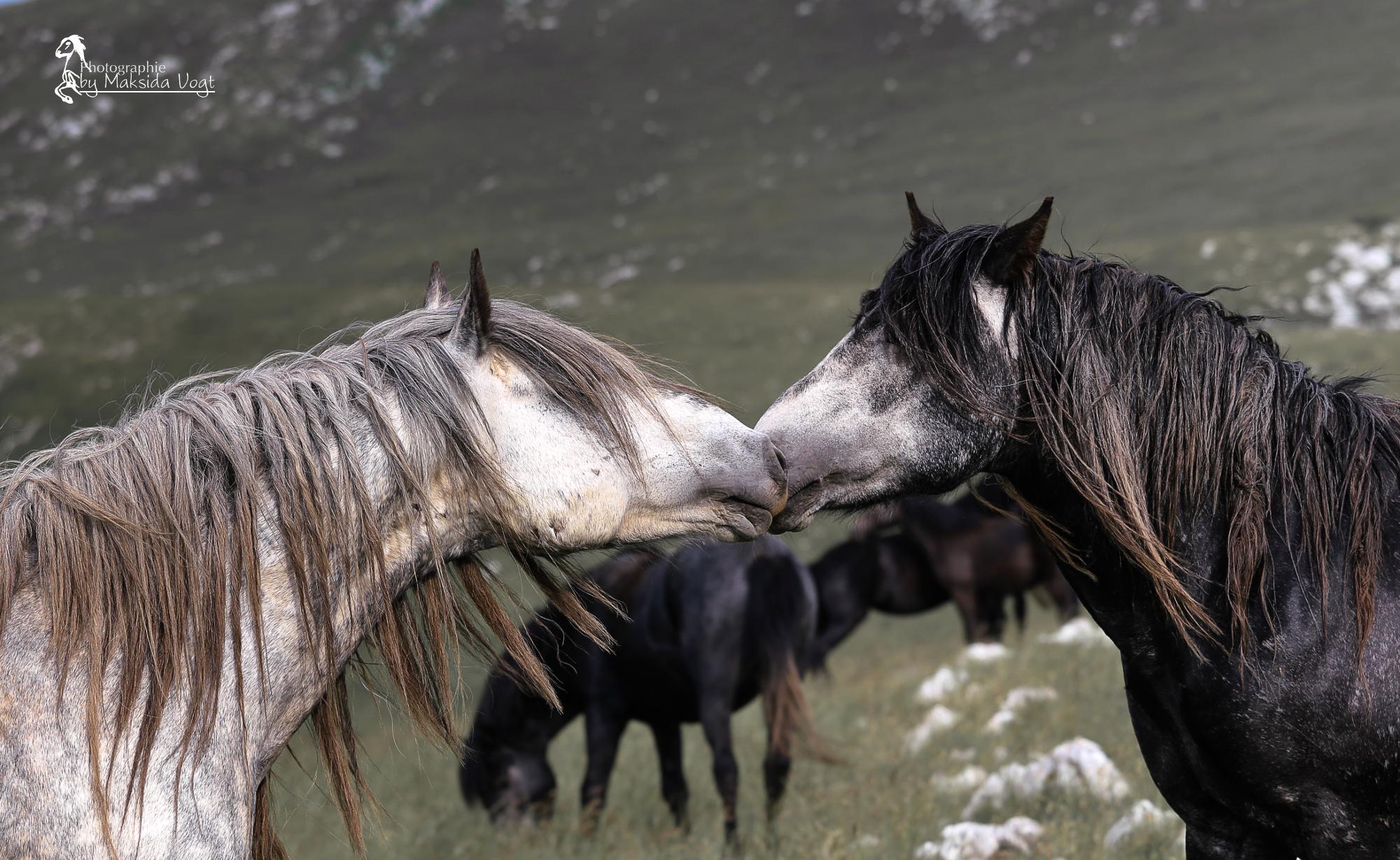 Zwei Junghengste beschnuppern sich um den Rang zu klären. © Maksida Vogt