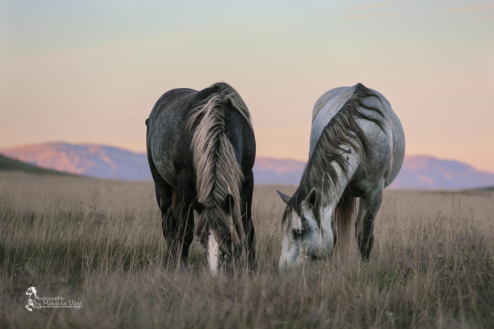 Hengst und seine Stute beim friedlichen morgendlichen Grasen. © Maksida Vogt